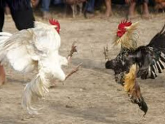 Петушиные бои как простой способ заработка